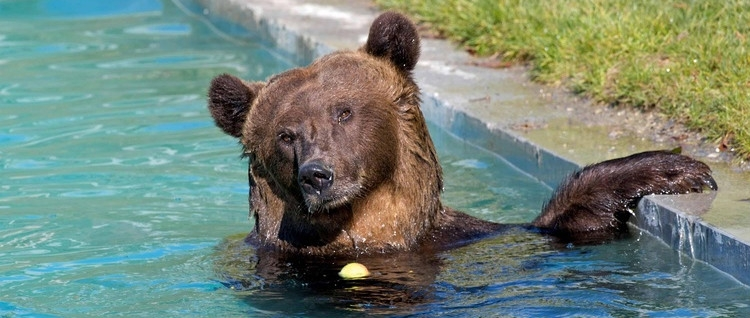 The popular bathing in the pool. A spacious bathroom parallel to the river Aare provides the bears with a real bear-life.