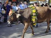 Viehschau, Weggis