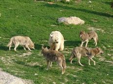 Bär & Wölfe, Tierpark Goldau