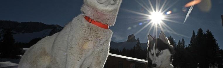 Voyage au pays des chiens polaires
