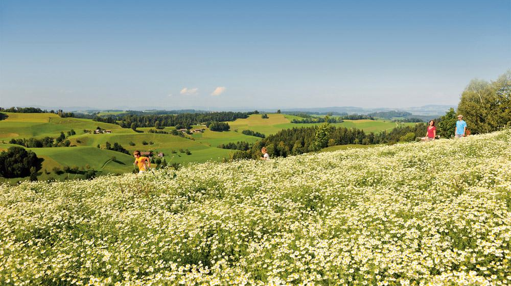 Kräuterfeld Kamille bei Hergiswil