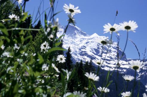 Sommer - Bergblumen
