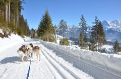 Sledging with huskies