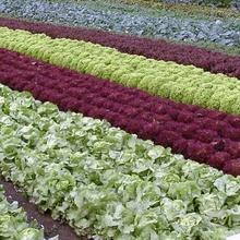 Salatfeld im Aargau