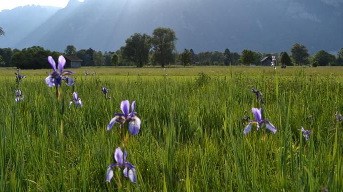 Lillien im Ruggellerriet