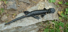 Alpsalamander