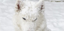 Hundeschlittenfahrten mit Huskies