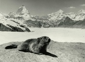 A marmot in front of the Matterhorn