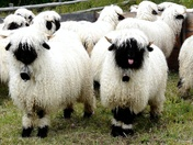 Black nose sheeps