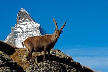 Ibex – every hunter's dream