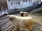The two black-faced rams Rajan and Jarno