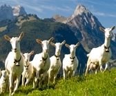 Saanen goat