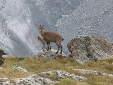 Mother Ibex with its kid. Female Ibex have shorter horns than their male partners