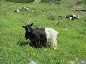 Blackneck goats love good food. They choose the finest herbs and eat them with relish.